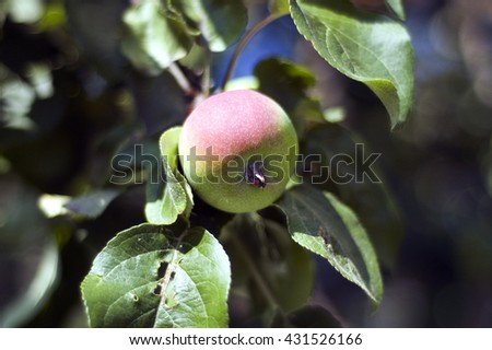 The ripened apple, on a tree, with a leaf. - stock photo