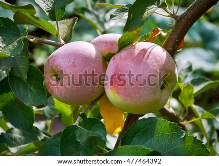 the ripened apples on a branch