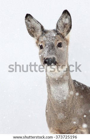 The Roe Deer (Capreolus capreolus) in the snowfall. - stock photo