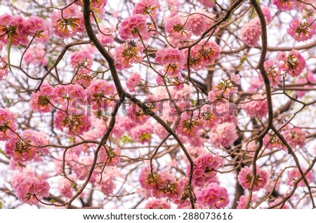 The romantic of pink flower tree, Pink trumpet tree. - stock photo