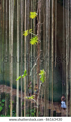 The roots of plants down in the Ik-Kil cenote near Chichen Itza, Mexico - stock photo