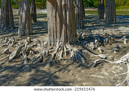 The roots of the bald cypress, sticking out of the soil - stock photo