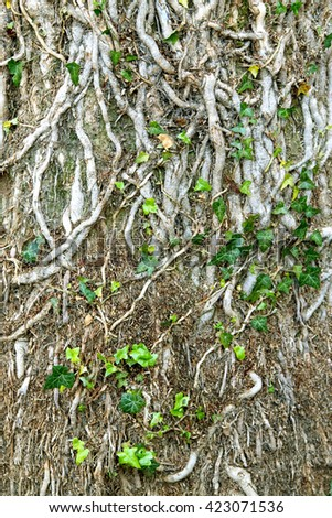 The roots of the vines on a tree, useful as a background. - stock photo