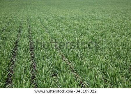 The rows of wheat in this field are green and growing as two months remain before this field of ripe, golden and ready to harvest. - stock photo