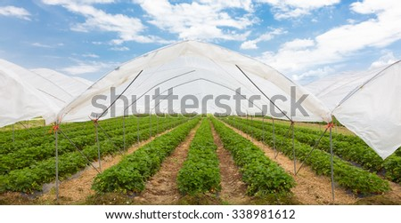 The rows of young strawberry plants growing in large plant nursery. All seasons production of fruit and vegetables in the greenhouse. - stock photo