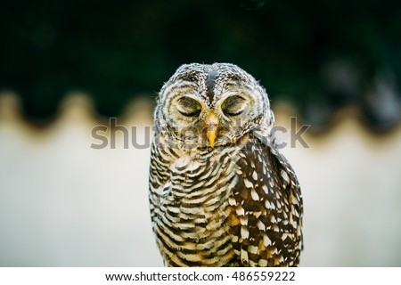 The Rufous-legged Owl (Strix Rufipes) Is A Medium Sized Owl With No Ear Tufts. Wild Bird. Close Up Head, Face. Birds Eye Closed