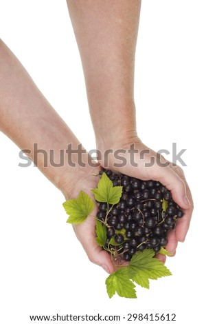 The rural worker hold on hands  of ripe european black currant heap. Isolated collage  concept