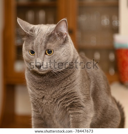 The Russian Blue is a cat breed that has a silver-blue coat. These cats are known to be highly intelligent and playful but tend to be timid around strangers. - stock photo