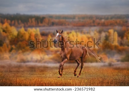 The Russian Don horse running on golden forest background  - stock photo