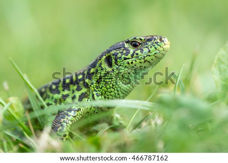 The sand lizard (Lacerta agilis)