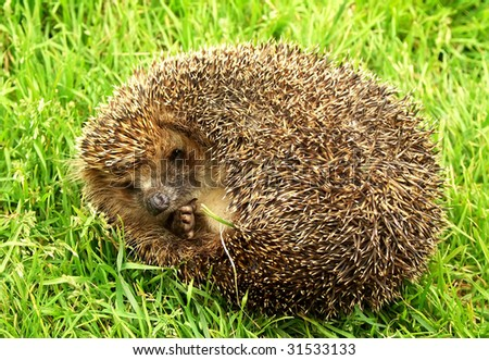 The scared hedgehog, is photographed in the summer in a green grass.