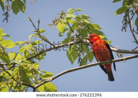 The scarlet tanager, a mid-sized passerine, is marginally the smallest of the four species of Piranga that breed north of the Mexican border.  - stock photo