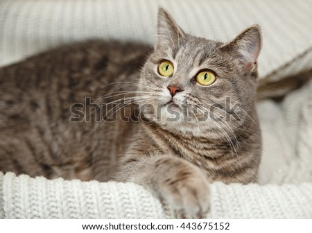 The Scotch Grey Cute Cat is Sitting in the Knitted White Sweater.Beautiful Look.Animal Fauna,Interesting Pet. - stock photo