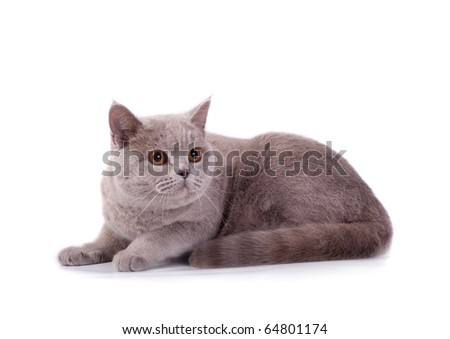 The Scottish cat lays on a white background