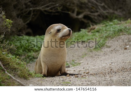 the sea lion pup is walking on the beach - stock photo