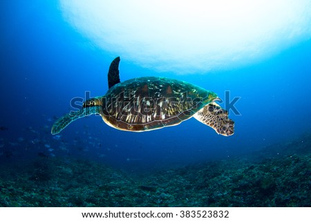 The sea turtle swimming above the healthy coral reef. Nusa Penida, Indonesia. - stock photo