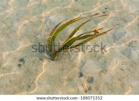 The seagrass growing at the coastline Samui island. - stock photo