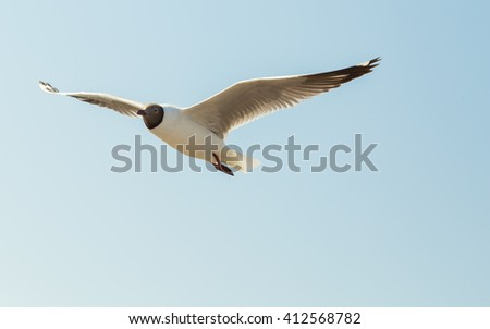 The seagull flying with wind on the blue sky. This image I focus at the head while it is flying..