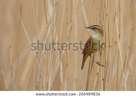 The Sedge Warbler (Acrocephalus schoenobaenus) - stock photo