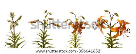 The sequence of blooming flower branch of lilies Asian hybrids with buds on a white background isolated - stock photo