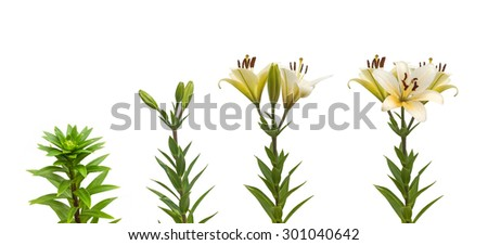 The sequence of blooming flower white lily Oriental hybrids on a white background isolated - stock photo