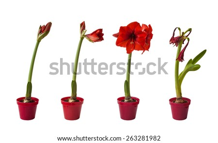 The sequence of the flowering Hippeastrum red on a white background isolated - stock photo