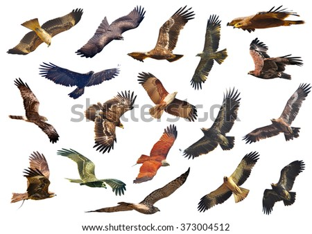 The series includes  falcons, eagles prey on a white background. - stock photo
