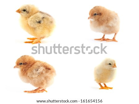 The set of yellow small chicks with egg isolated on a white background - stock photo
