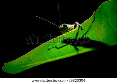 The shadows of green Locusts