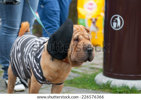 The Shar Pei, is a breed of dog known for its distinctive features of deep wrinkles and a blue-black tongue. - stock photo