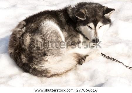 The Siberian Huskies sleeps on spring snow on Kamchatka - stock photo