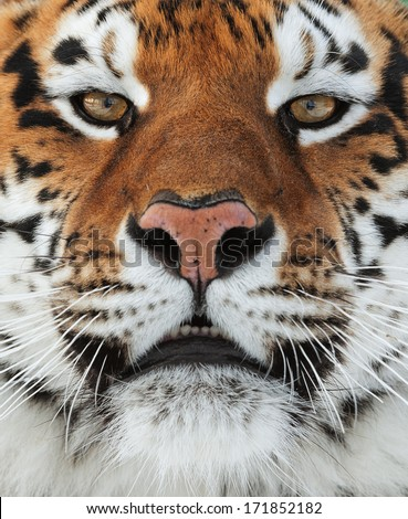 The Siberian tiger (Panthera tigris altaica) close up portrait.  - stock photo