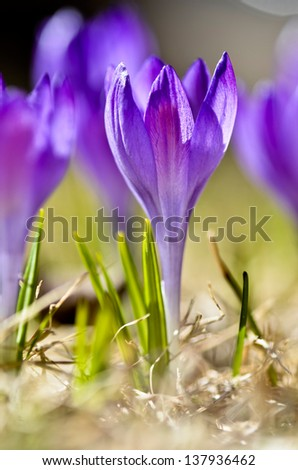 The sign of Spring, violet crocuses - stock photo