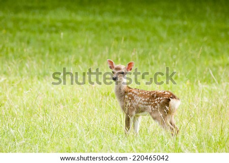 The Sika deer is also known as the spotted deer and is native to Asia - stock photo