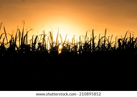 The silhouette of sugar cane field - stock photo