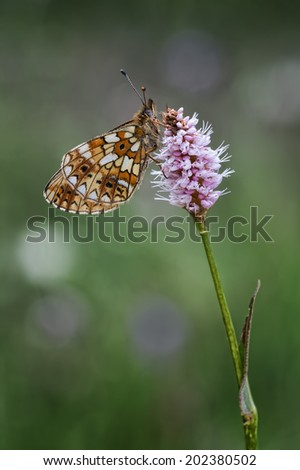 The Silver Pearl-bordered Fritillary (Boloria selene) with a beautiful colored background - stock photo