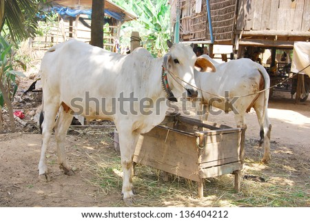 The skinny white cows and oxen we saw all over Cambodia are known as Zebu, also known as  Brahmin. - stock photo