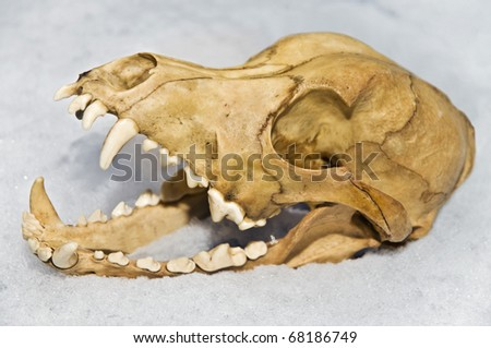 The skull of a small animal in the snow. - stock photo