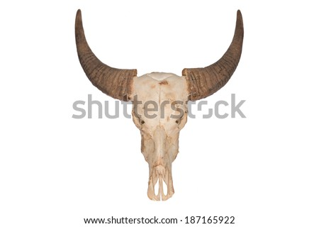 The skull of Wild water buffalo or Bubalus arnee in Thailand. - stock photo