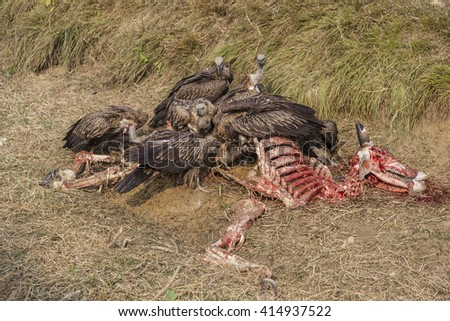 The slender-billed vultures (Gyps tenuirostris) eating dead cow near Lumbini, Nepal.