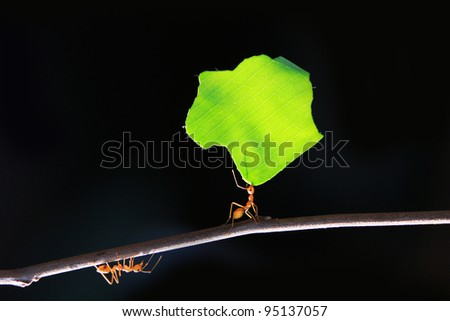 The small ants, carrying leaf in front of a black background. - stock photo