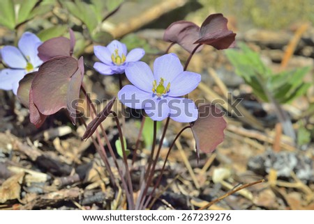 The small blue flowers (Jeffersonia dubia). Early spring. - stock photo