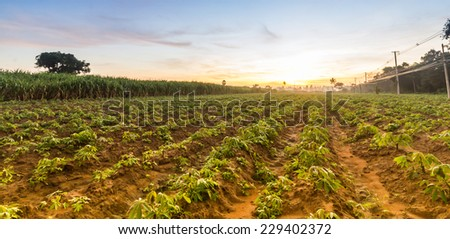 The small cassava in moning. Thailand is top Exporter of cassava in the world. The cassava can more use product for example food feed Textile industry paper industry plywood industry Industrial  - stock photo