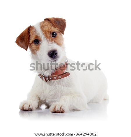 The small doggie of breed a Jack Russell Terrier lies on a white background