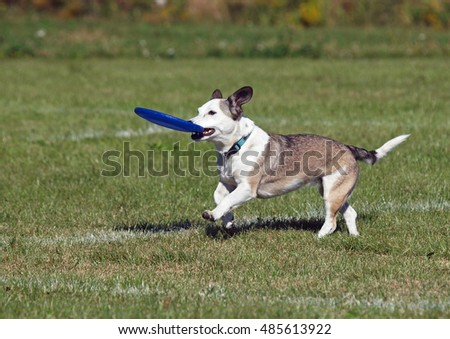 The small doggie plays with a disk on a green lawn
