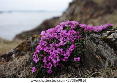 The small flowers of purple saxifrage appear in April at the coastal rocks in Helgeland, Nordland, Norway. - stock photo