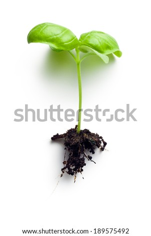 the  small plant of basil - stock photo