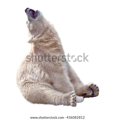 The small polar bear sits and sing song isolated on a white - stock photo