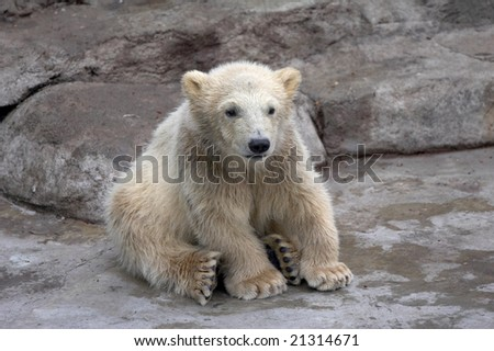 The small polar bear sits on stones
