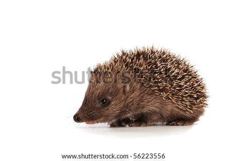 The small prickly hedgehog looks at me - stock photo